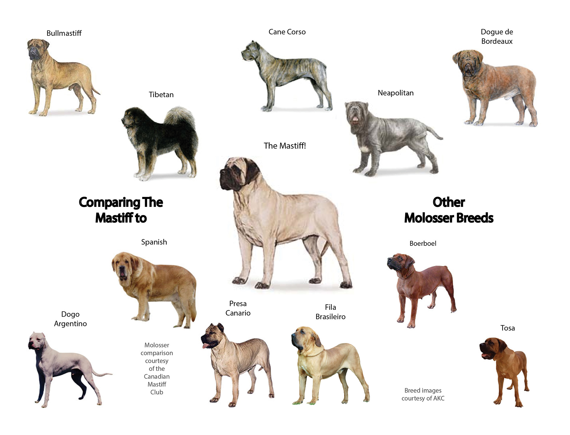 Canadian mastiff club identifying molosser breeds official breed name nvjuhfo Images